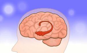 脳の中の海馬