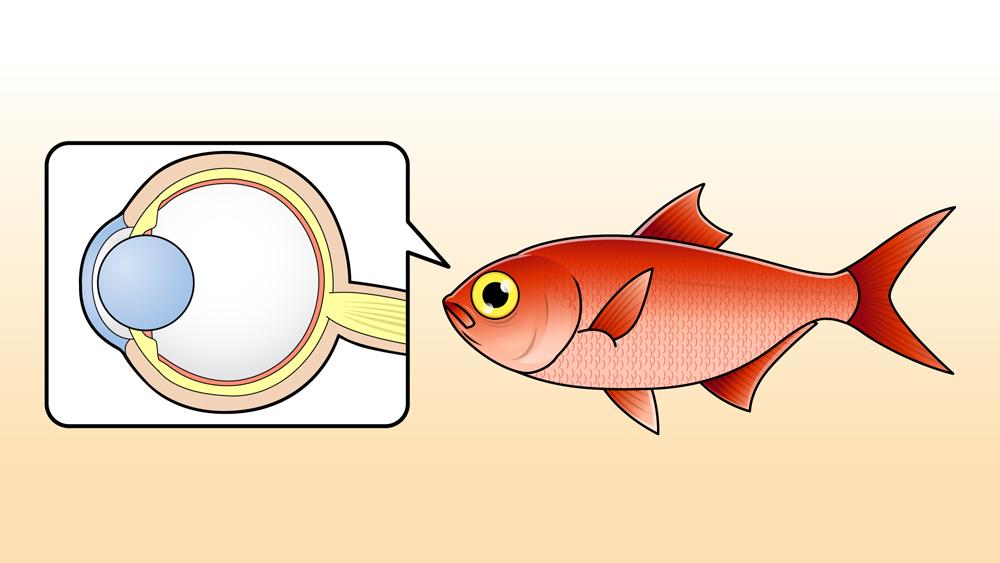 キンメダイの目の構造