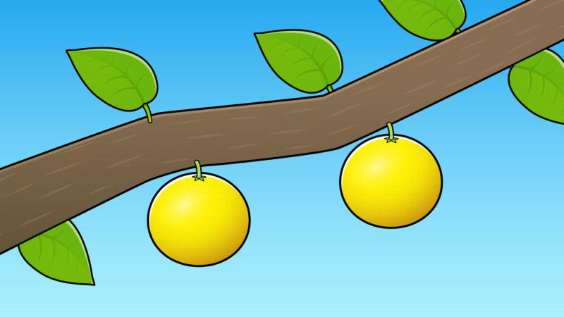 グレープフルーツが木になっている様子